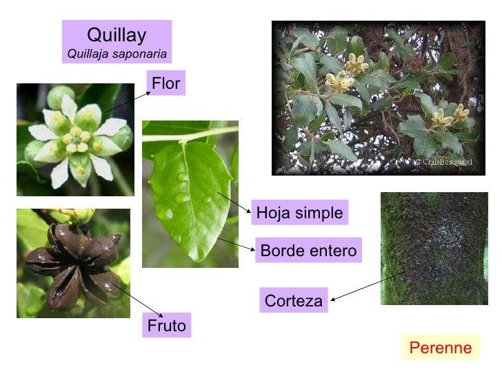 Quillay Quillaja saponaria Perenne Fruto Flor Hoja simple Borde entero Corteza