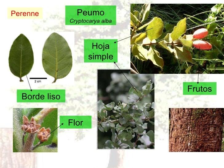 Peumo Cryptocarya alba Perenne Borde liso Hoja simple Flor Frutos