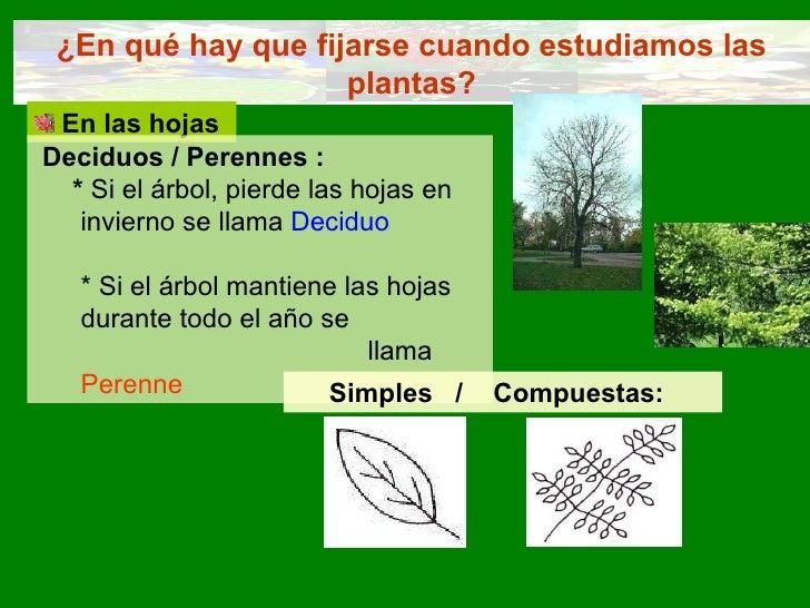 ¿En qué hay que fijarse cuando estudiamos las plantas? <ul><li>En las hojas </li></ul>Deciduos / Perennes : *  Si el árbol...