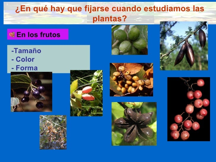 ¿En qué hay que fijarse cuando estudiamos las plantas? <ul><li>En los frutos </li></ul>-Tamaño - Color - Forma