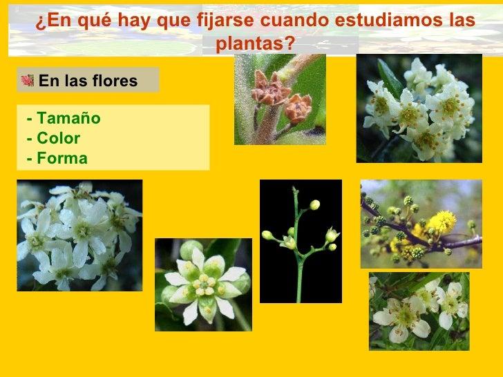 ¿En qué hay que fijarse cuando estudiamos las plantas? <ul><li>En las flores </li></ul>- Tamaño - Color - Forma