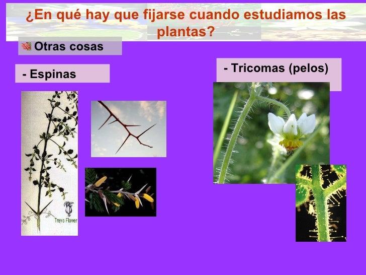 ¿En qué hay que fijarse cuando estudiamos las plantas? <ul><li>Otras cosas </li></ul>- Espinas   - Tricomas (pelos)