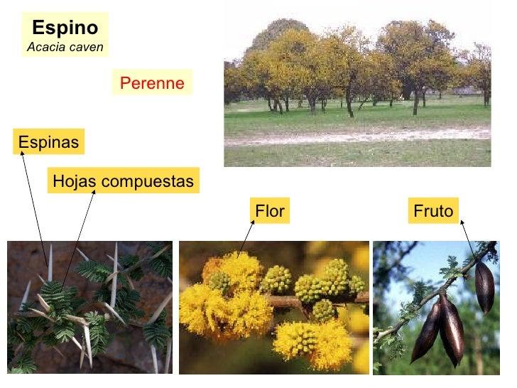 Espino Acacia caven Perenne Espinas Flor Fruto Hojas compuestas