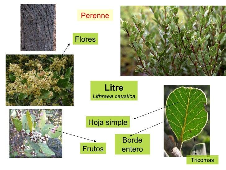 Litre Lithraea caustica Perenne Flores Frutos Hoja simple Borde entero Tricomas