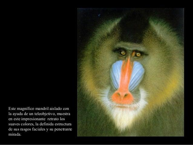 Este magnífico mandril aislado conla ayuda de un teleobjetivo, muestraen este impresionante retrato lossuaves colores, la ...