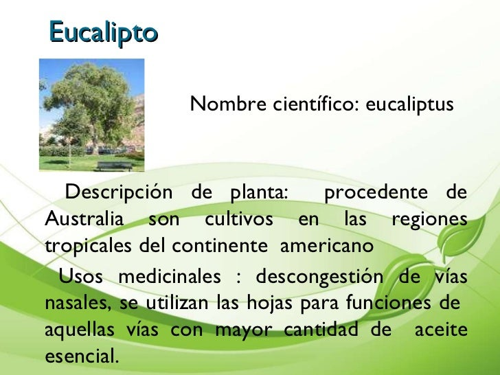 científico eucaliptus gobulus descripción de planta procedente de