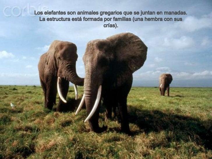 Los elefantes son animales gregarios que se juntan en manadas.  La estructura está formada por familias (una hembra con su...
