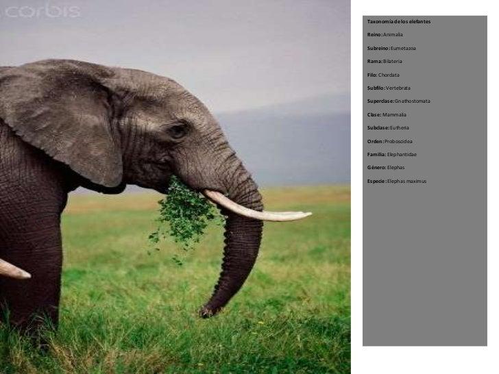 Taxonomía de los elefantesReino: AnimaliaSubreino: EumetazoaRama: BilateriaFilo: ChordataSubfilo: VertebrataSuperclase: Gn...