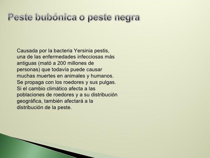 Causada por la bacteria Yersinia pestis, una de las enfermedades infecciosas más antiguas (mató a 200 millones de personas...
