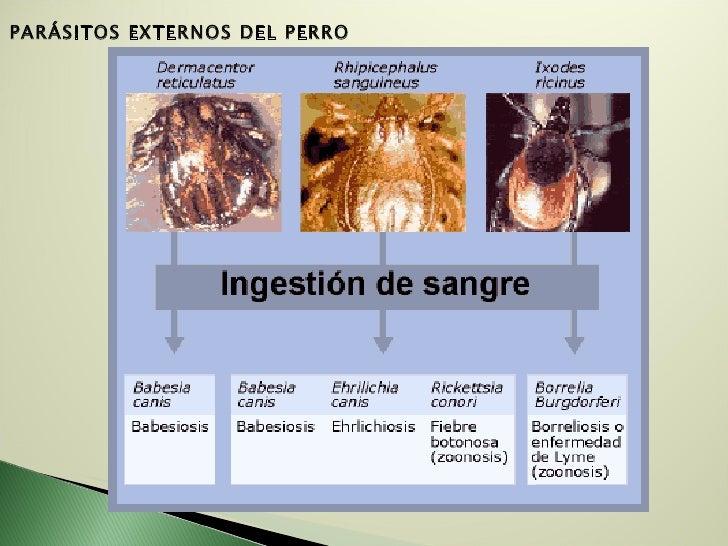 PARÁSITOS EXTERNOS DELPERRO