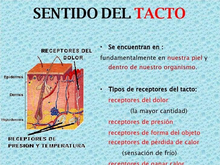 SENTIDO DEL  TACTO <ul><li>Se encuentran en :  </li></ul><ul><li>fundamentalmente en  nuestra piel  y  dentro de nuestro o...