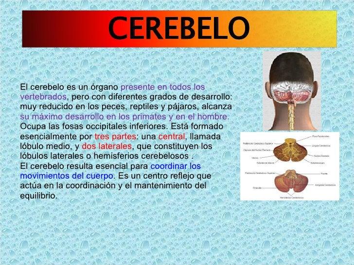 El cerebelo es un órgano  presente en todos los vertebrados , pero con diferentes grados de desarrollo: muy reducido en lo...