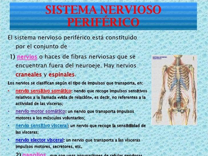 <ul><li>El sistema nervioso periférico está constituido por el conjunto de </li></ul><ul><li>1)  nervios   o haces de fibr...