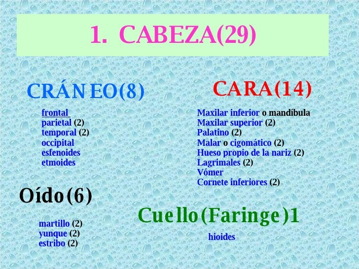 <ul><li>CABEZA(29) </li></ul><ul><li>CRÁNEO(8) </li></ul>CARA(14) frontal   parietal  (2)  temporal  (2)  occipital   esfe...