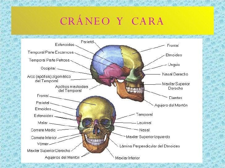 CRÁNEO  Y  CARA