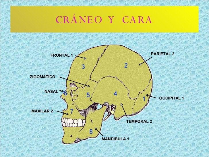 CRÁNEO  Y  CARA OCCIPITAL 1 PARIETAL 2 FRONTAL 1 TEMPORAL 2 MANDÍBULA 1 MAXILAR 2 NASAL ZIGOMÁTICO