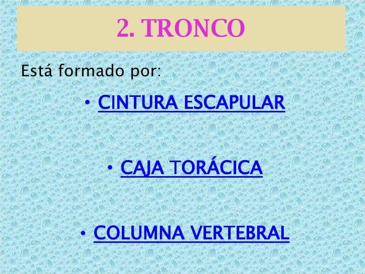 2. TRONCO <ul><li>Está formado por: </li></ul><ul><li>CINTURA ESCAPULAR </li></ul><ul><li>CAJA TORÁCICA </li></ul><ul><li>...
