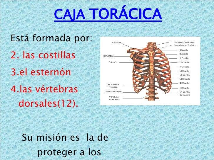 CAJA  TORÁCICA <ul><li>Está formada por: </li></ul><ul><li>las costillas  </li></ul><ul><li>el esternón  </li></ul><ul><li...