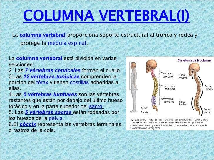 COLUMNA VERTEBRAL(I) <ul><li>La  columna vertebral   proporciona soporte estructural al tronco y rodea y protege la  médul...