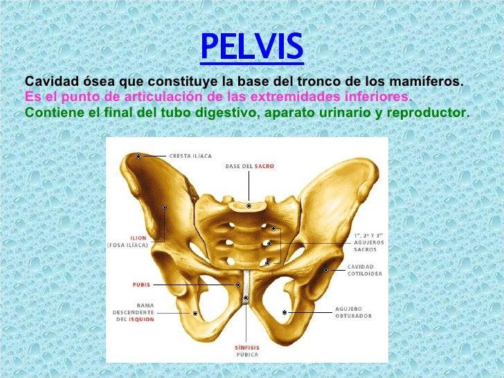 PELVIS Cavidad ósea que constituye la base del tronco de los mamíferos. Es el punto de articulación de las extremidades in...