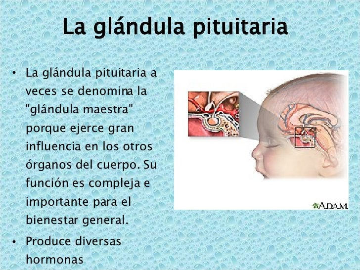 La glándula pituitaria  <ul><li>La glándula pituitaria a veces se denomina la &quot;glándula maestra&quot; porque ejerce g...