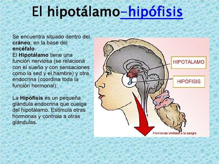 El hipotálamo -hipófisis   Se encuentra situado dentro del  cráneo , en la base del  encéfalo . El  Hipotálamo  tiene una ...