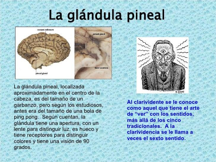 La glándula pineal  La glándula pineal, localizada aproximadamente en el centro de la cabeza, es del tamaño de un garbanzo...
