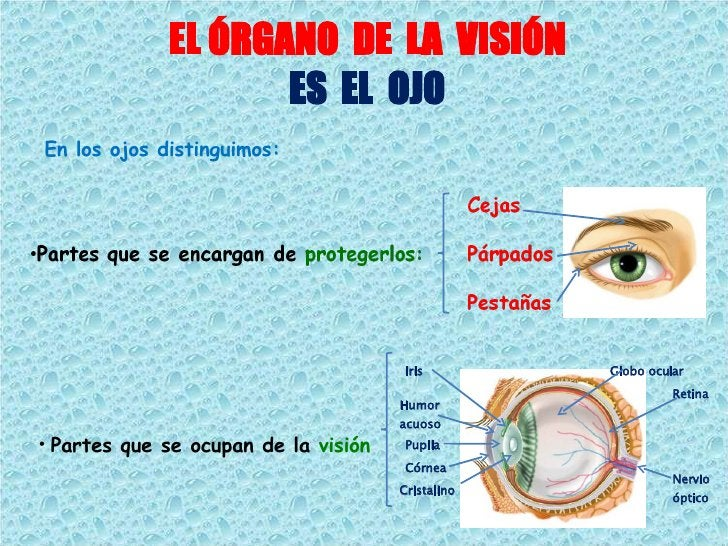 EL ÓRGANO  DE  LA  VISIÓN ES  EL  OJO En los ojos distinguimos: <ul><li>Partes que se ocupan de la  visión </li></ul>Globo...