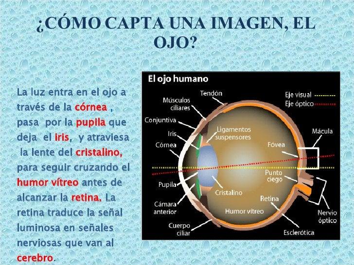 ¿CÓMO CAPTA UNA IMAGEN, EL OJO? <ul><li>La luz entra en el ojo a   través de la  córnea  ,  pasa  por la  pupila   que dej...