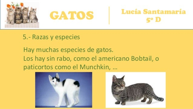 GATOS Lucía Santamaría 5º D 5.- Razas y especies Hay muchas especies de gatos. Los hay sin rabo, como el americano Bobtail...