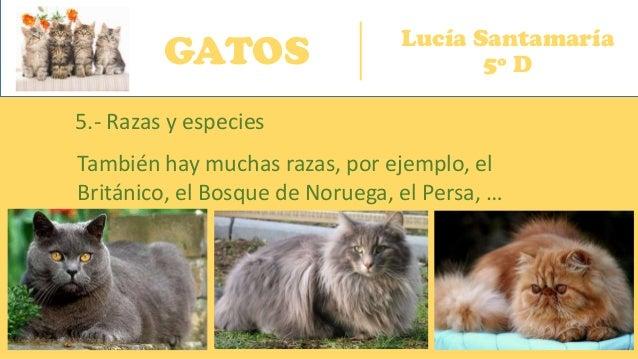 GATOS Lucía Santamaría 5º D 5.- Razas y especies También hay muchas razas, por ejemplo, el Británico, el Bosque de Noruega...