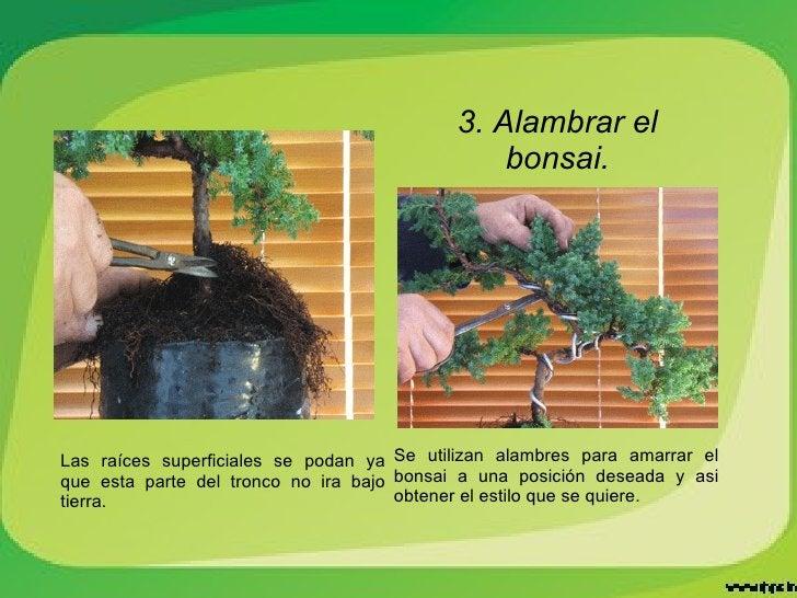 3. Alambrar el bonsai. Se utilizan alambres para amarrar el bonsai a una posición deseada y asi obtener el estilo que se q...