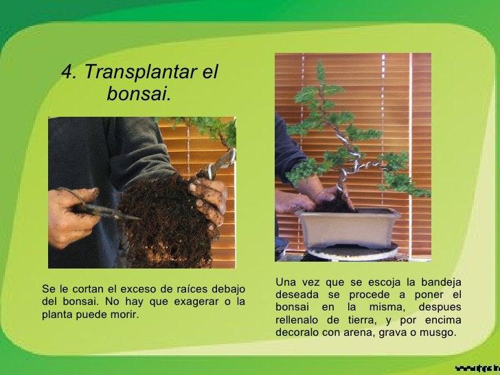 4. Transplantar el bonsai. Una vez que se escoja la bandeja deseada se procede a poner el bonsai en la misma, despues rell...