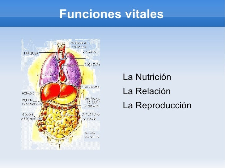 Funciones vitales <ul><li>La Nutrición