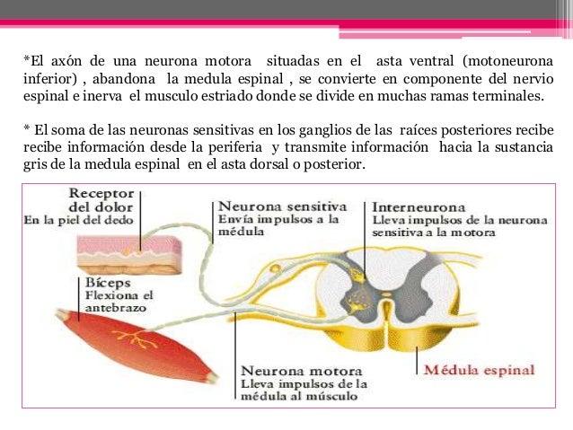 Tractos ascendentes y descendentes de la medula espinal