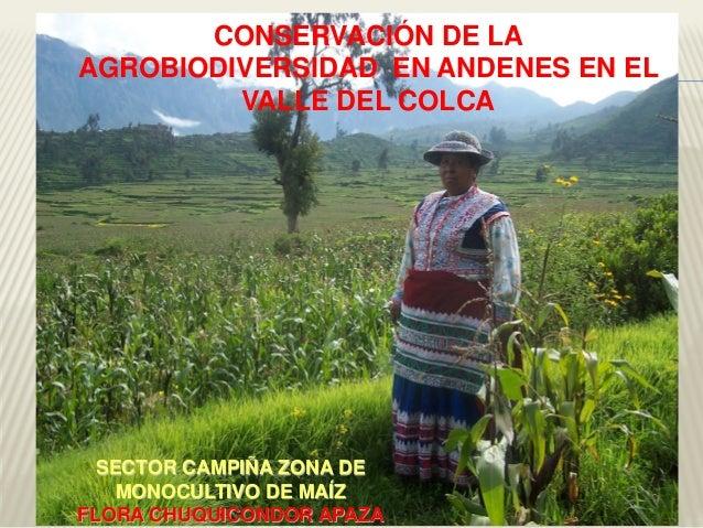 SECTOR CAMPIÑA ZONA DE MONOCULTIVO DE MAÍZ FLORA CHUQUICONDOR APAZA CONSERVACIÓN DE LA AGROBIODIVERSIDAD EN ANDENES EN EL ...