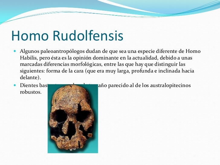Homo Rudolfensis<br />Algunos paleoantropólogos dudan de que sea una especie diferente de Homo Habilis, pero ésta es la op...