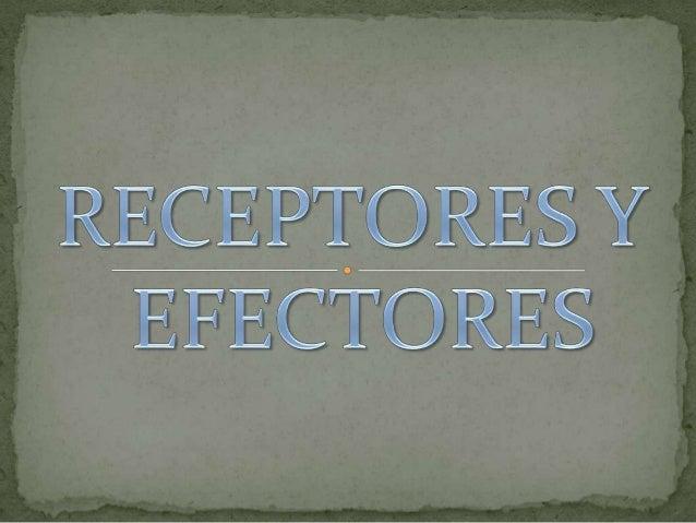  Los receptores sensoriales: son los encargados depercibir la información y de convertirla en un impulsonervioso, que es ...