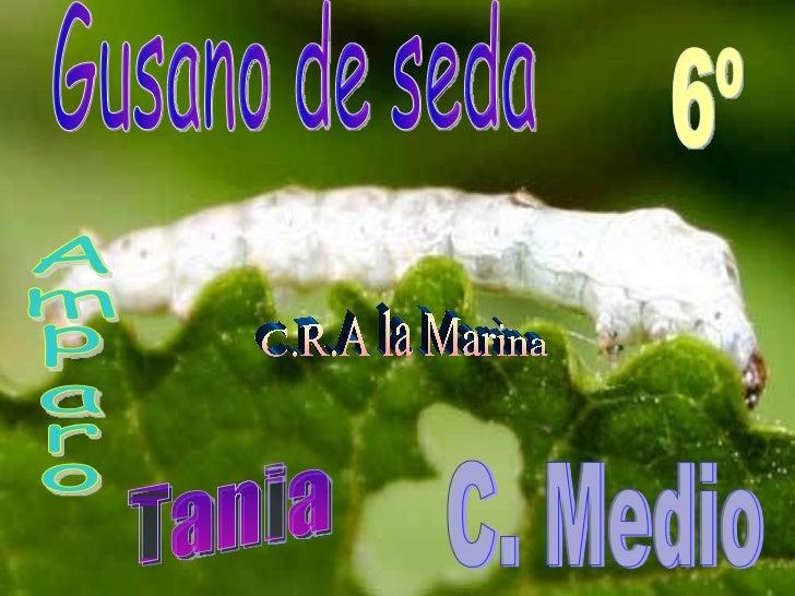 y mariposa de seda Gusano de seda Amparo 6º C. Medio C.R.A la Marina Tania