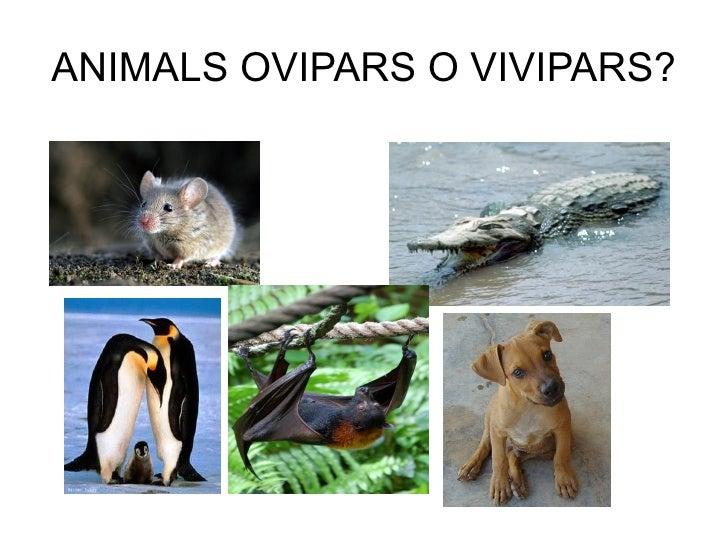 ANIMALS OVIPARS O VIVIPARS?
