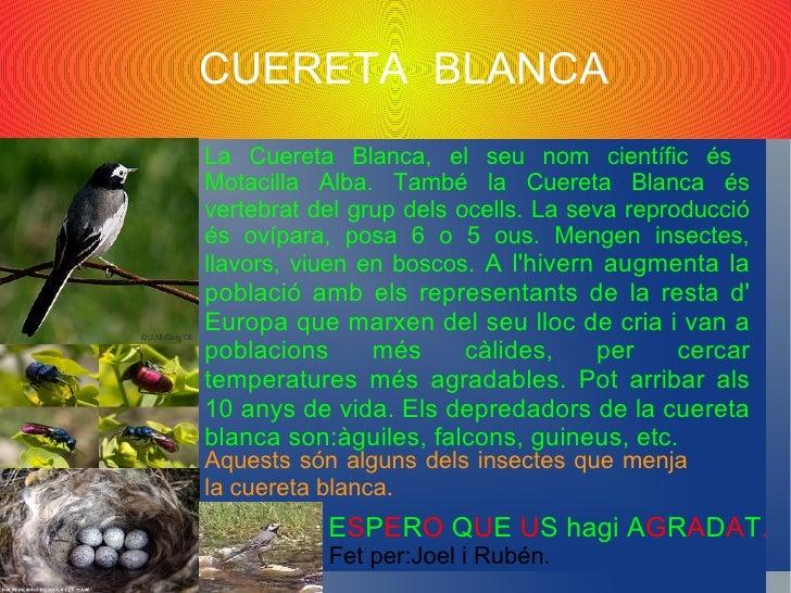 ORENETA CUABLANCA               (Delichon urbicum)   FET PER: MONICA I SONIA  Alimentació: Menja insectes capturats en ple...