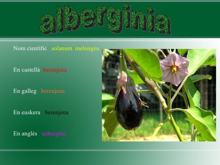 <ul><li>Nom científic  solanum  melongea