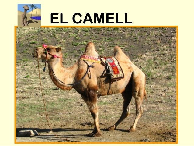 EL CAMELL