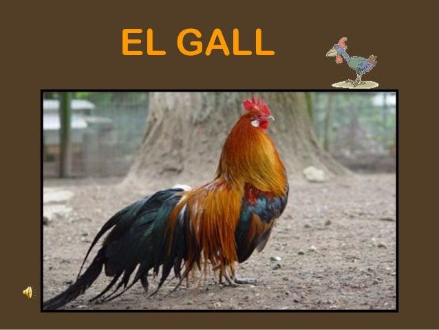 EL GALL