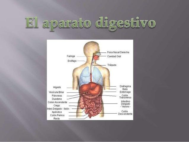  El aparato digestivo es el conjunto de órganos (boca, faringe, esófago, estómago, intestino delgado e intestino grueso) ...
