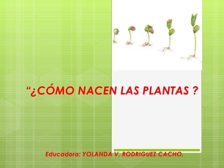 """"""" ¿CÓMO NACEN LAS PLANTAS ?   Educadora: YOLANDA V. RODRIGUEZ CACHO ."""