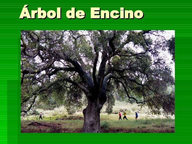 Presentacion madera 25 10 80 for Caracteristicas de arboles frondosos
