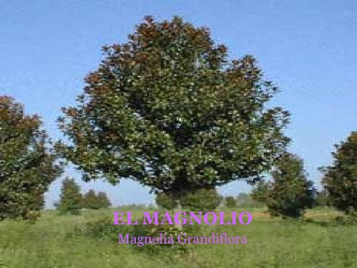 EL MAGNOLIO Magnolia Grandiflora