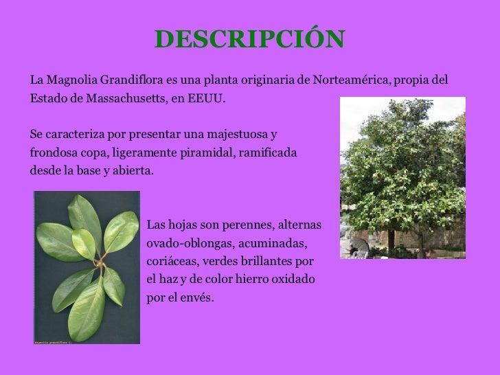 Presentacion magnolio - Magnolia planta cuidados ...