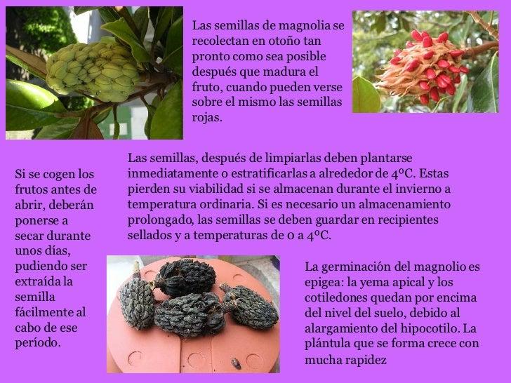Presentacion magnolio - Semilla de magnolia ...